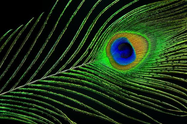 Peacock eye. peacock feather on black background.