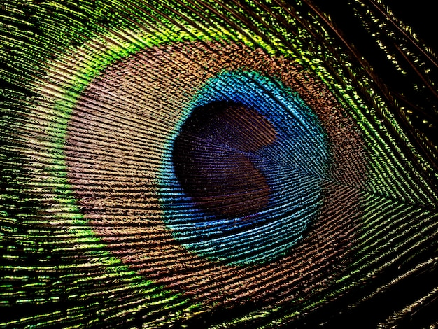 Peacock feather isolated on black