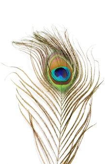 Peacock feather isolated.