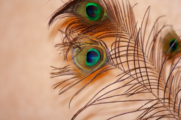 Peacock feather on pastel background