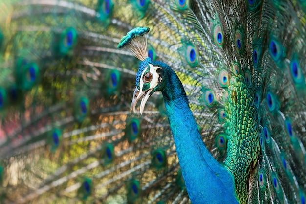 Павлиньи перья расправляют крылья, чтобы показать.