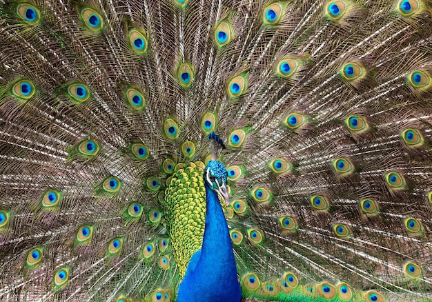 Peacock feathers beautifully distributed.