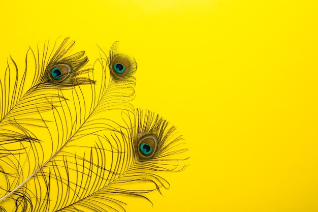 Peacock feathers iridescent blue green gold with a peephole on a bright yellow.