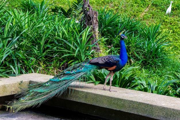 Peacock on the fence of a stone bridge. malaysia