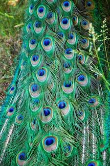 가까이에 공작 녹색과 파란색 깃털