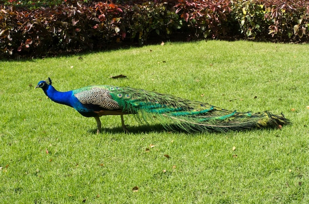 Peacock on a green background