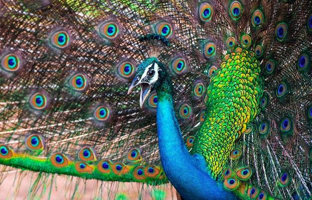 スリランカの島の野生の孔雀