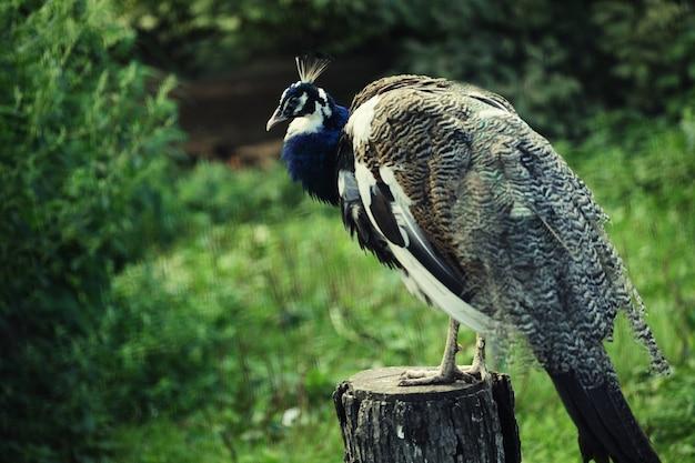 動物園の孔雀