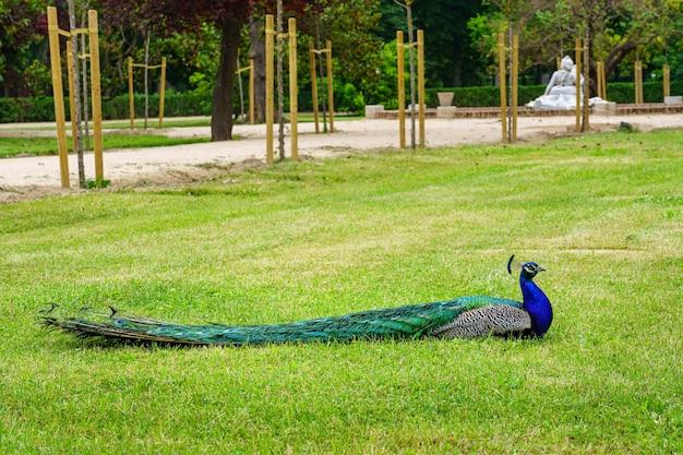 Павлин, лежащий в зеленой траве общественного парка