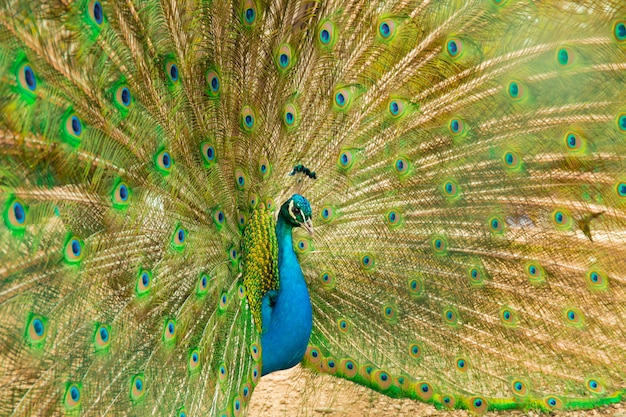 Peacock- male peafowl with open tail. side view.