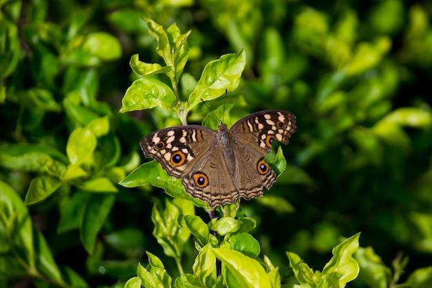 春の季節に緑の植物の上で休むピーコックパンジーバタフライ