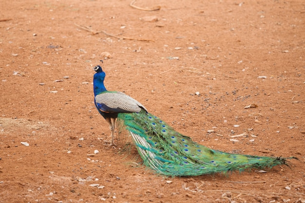 Peacock on red dry soil