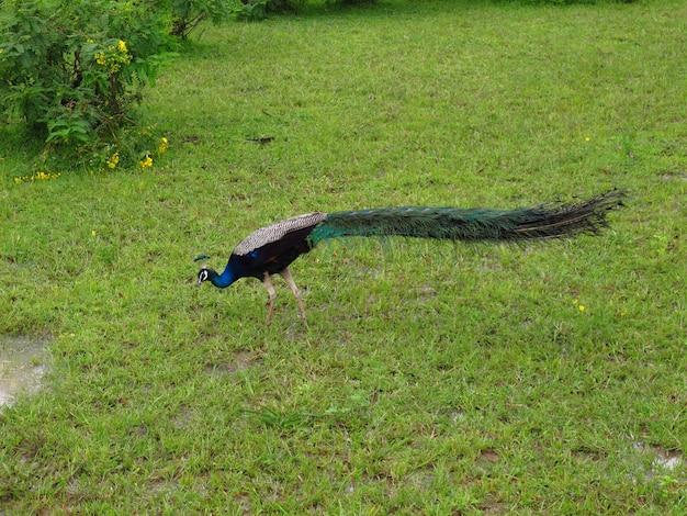 The peacock on the safari in yala national park, sri lanka