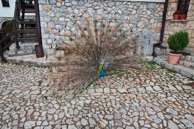 Peacock in sant naum monastery of macedonia, balkans