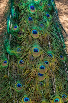 Peacock showing its extended tail feathers.peacock feathers wall. peacock feathers closeup