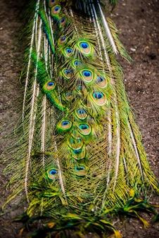 확장된 꼬리 깃털을 보여주는 공작