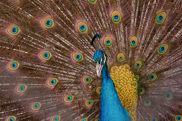 Peacock to spread his tail