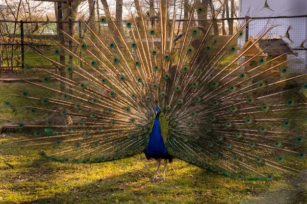 The peacock spread its tail village