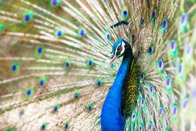孔雀は尾の羽を広げた