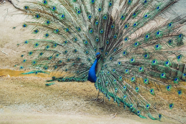 公園で美しいふわふわの尾を広げている孔雀