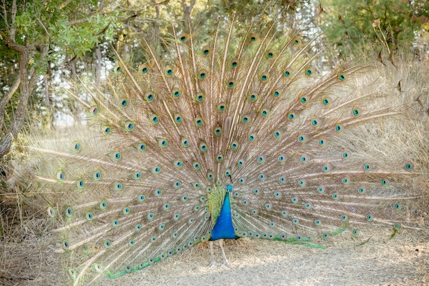 Peacock trying to impress