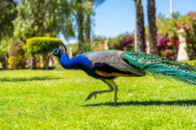 地中海、アリカンテ、トレビエハの町のパルケデラスナシオネスを歩く孔雀