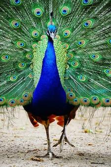 尾を開いたまま地面を歩く孔雀