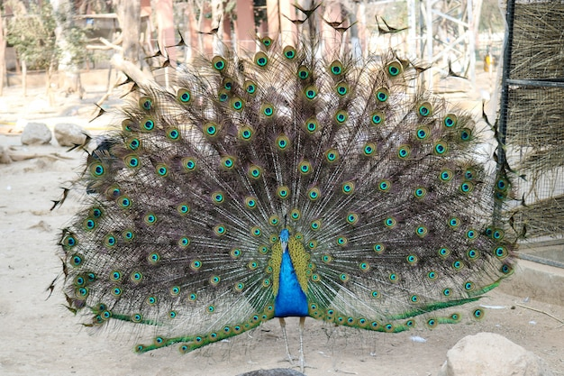 Peacock with his beautiful feathers