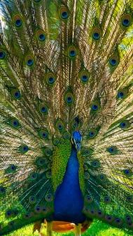 Peacock with its beautiful open tail in the parque de las naciones in the town of torrevieja, alicante, mediterranean sea