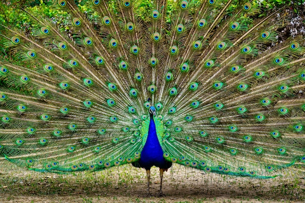 꼬리가 열린 공작은 대칭 배열로 생생한 색상을 보여줍니다.