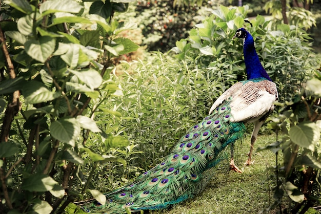 Peacock with long colorful tail in the park