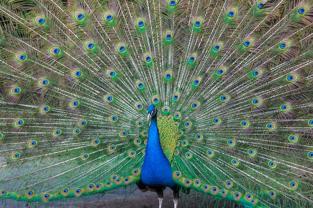 Peacock with multicolored feathers