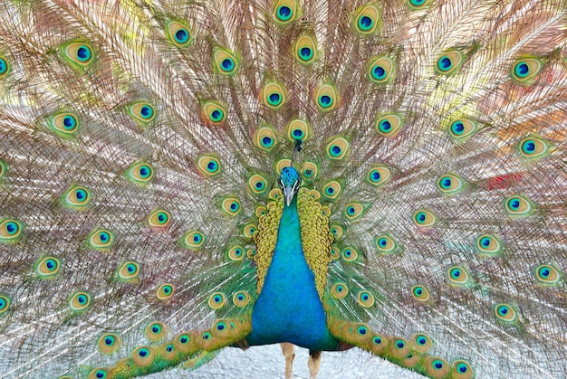 Peacock with open train