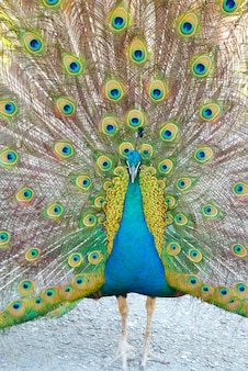Peacock with open train.