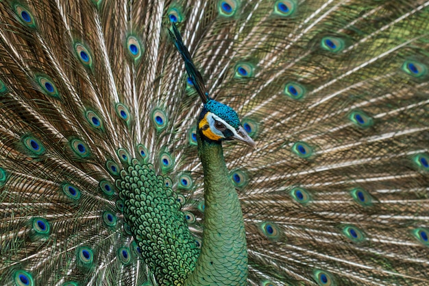 Peacocks in nature,green peafowl or pavo muticus (cristatus)