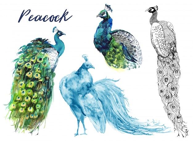 Peacocks watercolor graphics