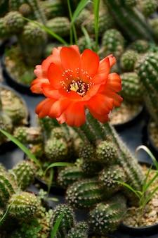 Peanut cactus pot plant with orange flower.