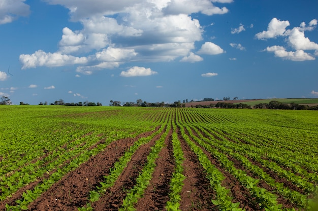 Peanut field under a blue sky. agriculture.