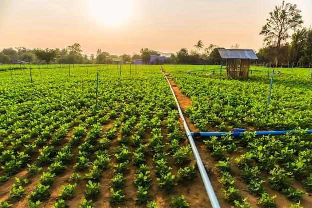 Peanut field, groundnut field on ground in vegetable garden.