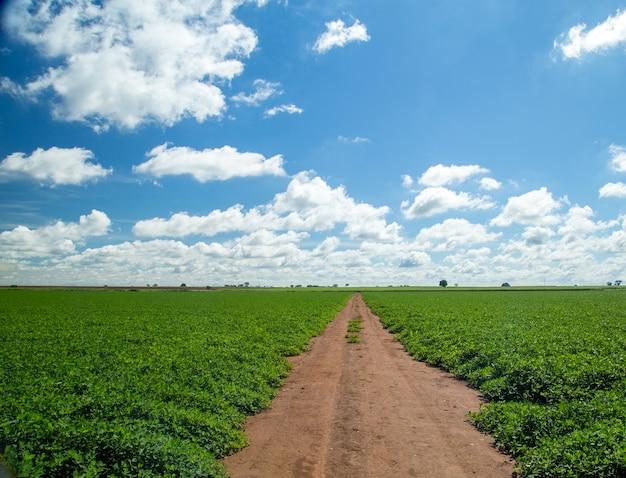 Peanut field plantation nature
