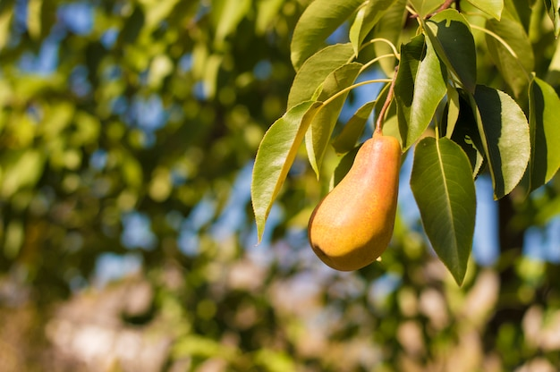 Pear on a branch on a wood background