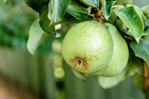 夏の庭で育つ梨。