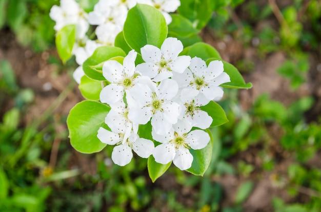배나무 꽃 클로즈업입니다. naturl 배경에 흰색 배 꽃입니다.