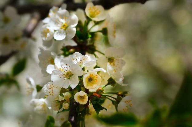 梨の木の花。春に白い木の花。閉じる。セレクティブフォーカス。