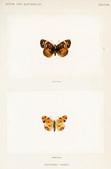 미국의 나방과 나비에서 진주 초승달 (phyciodes tharos)