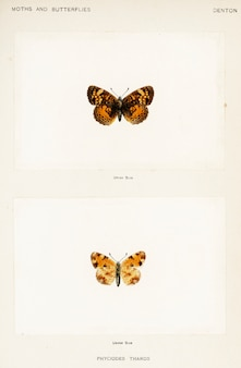 Pearl crescent (phyciodes tharos) от мотыль и бабочек сша