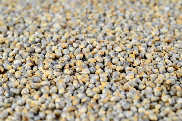 Pearl millet (bajra) as background. close up.