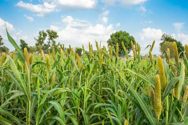 Pearl millet field в раджастане индия