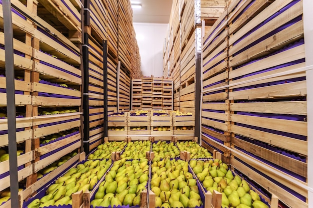 Pears in crates ready for shipping. cold storage interior.