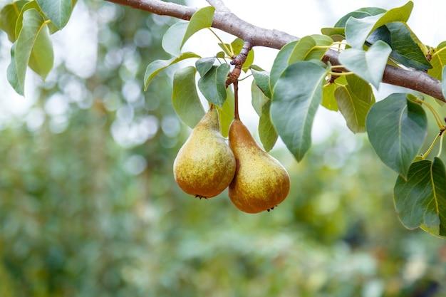 배는 나무에서 자랍니다. 2개의 익은 배는 정원의 나무에서 자랍니다. 과수원에 있는 농장에서 가을 수확 동안 맛있는 익은 배 과일.